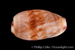 South African Fringed Cowrie, Cypraea fimbriata durbanensis, natural history stock photograph, photo id 08029