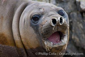 Southern elephant seal, juvenile. The southern elephant seal is the largest pinniped, and the largest member of order Carnivora, ever to have existed. It gets its name from the large proboscis (nose) it has when it has grown to adulthood, Mirounga leonina, Shingle Cove, Coronation Island, South Orkney Islands, Southern Ocean