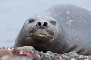 Southern elephant seal, Mirounga leonina, Livingston Island