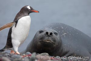 Southern elephant seal watches gentoo penguin. Livingston Island, Antarctic Peninsula, Antarctica, Mirounga leonina, Pygoscelis papua, natural history stock photograph, photo id 25915
