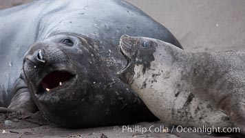 Southern elephant seal, juveniles mock sparring, Mirounga leonina, Livingston Island
