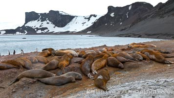 Southern elephant seals, gathered in a small colony near the ocean, a pinniped wallow, Mirounga leonina, Livingston Island