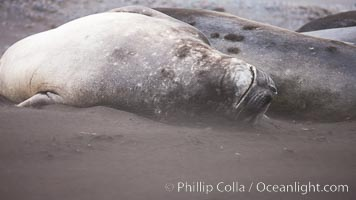 Southern elephant seals, laying on sandy beach amidst a sandstorm, Mirounga leonina, Livingston Island