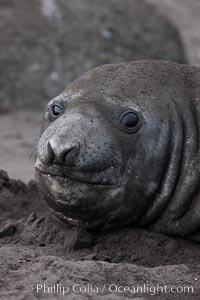 Southern elephant seal, Mirounga leonina, Livingston Island