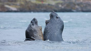 Southern elephant seal, juveniles mock sparring, Mirounga leonina, Livingston Island