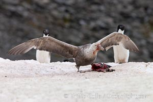 Southern giant petrel kills and eats an Adelie penguin chick, Shingle Cove. Shingle Cove, Coronation Island, South Orkney Islands, Southern Ocean