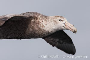 Southern giant petrel in flight.  The distinctive tube nose (naricorn), characteristic of species in the Procellariidae family (tube-snouts), is easily seen, Macronectes giganteus