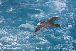"Southern giant petrel in flight, soaring over the open ocean.  This large seabird has a wingspan up to 80"" from wing-tip to wing-tip, Macronectes giganteus"