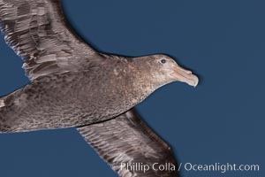 Southern giant petrel in flight at dusk, after sunset, as it soars over the open ocean in search of food, Macronectes giganteus