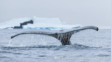 Southern humpback whale in Antarctica, lifting its fluke (tail) before diving in Cierva Cove, Antarctica, Megaptera novaeangliae