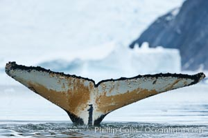 Southern humpback whale in Antarctica, with significant diatomaceous growth (brown) on the underside of its fluke, lifting its fluke before diving in Neko Harbor, Antarctica, Megaptera novaeangliae