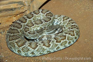 Southern Pacific rattlesnake.  The southern Pacific rattlesnake is common in southern California from the coast through the desert foothills to elevations of 10,000 feet.  It reaches 4-5 feet (1.5m) in length., Crotalus viridis helleri, natural history stock photograph, photo id 12585