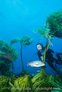 Diver and sheephead amidst giant palm kelp, Eisenia arborea, Guadalupe Island (Isla Guadalupe)