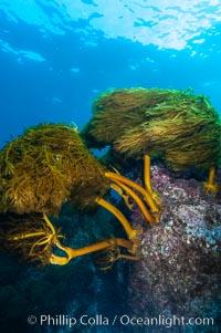 Southern sea palm. Guadalupe Island (Isla Guadalupe), Baja California, Mexico, Eisenia arborea, natural history stock photograph, photo id 09539