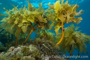 Southern sea palm, palm kelp, underwater, San Clemente Island. San Clemente Island, California, USA, Eisenia arborea, natural history stock photograph, photo id 30917