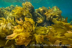Southern sea palm, palm kelp, underwater, San Clemente Island. San Clemente Island, California, USA, Eisenia arborea, natural history stock photograph, photo id 30919
