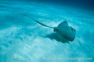 Southern stingray. Bahamas, Dasyatis americana, natural history stock photograph, photo id 00311