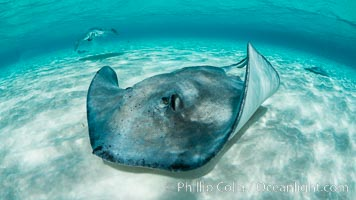 Southern Stingray, Stingray City, Grand Cayman Island. Stingray City, Grand Cayman, Cayman Islands, natural history stock photograph, photo id 32067