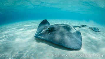 Southern Stingray, Stingray City, Grand Cayman Island. Stingray City, Grand Cayman, Cayman Islands, natural history stock photograph, photo id 32076