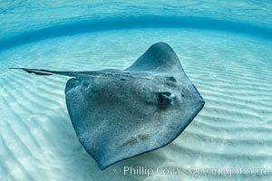 Southern Stingray, Stingray City, Grand Cayman Island. Stingray City, Grand Cayman, Cayman Islands, natural history stock photograph, photo id 32088