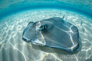 Southern Stingray, Stingray City, Grand Cayman Island. Stingray City, Grand Cayman, Cayman Islands, natural history stock photograph, photo id 32090