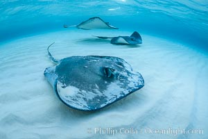 Southern Stingray, Stingray City, Grand Cayman Island. Stingray City, Grand Cayman, Cayman Islands, natural history stock photograph, photo id 32152