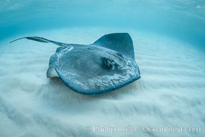 Southern Stingray, Stingray City, Grand Cayman Island. Stingray City, Grand Cayman, Cayman Islands, natural history stock photograph, photo id 32157
