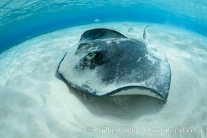 Southern Stingray, Stingray City, Grand Cayman Island