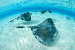 Southern Stingrays, Stingray City, Grand Cayman Island. Stingray City, Grand Cayman, Cayman Islands, natural history stock photograph, photo id 32215