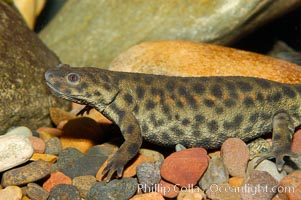 Spanish ribbed newt, native to Spain, Portugal and Morocco, Pleurodeles waltl