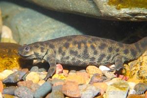 Spanish ribbed newt, Pleurodeles waltl