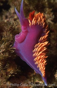 Spanish shawl  nudibranch, Flabellina iodinea, Catalina Island