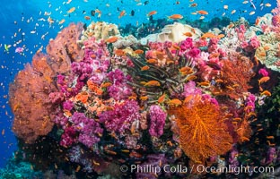 Spectacular pristine tropical reef with vibrant colorful soft corals. Dendronephthya soft corals, crinoids, sea fan gorgonians and schooling Anthias fishes, pulsing with life in a strong current over a pristine coral reef. Fiji is known as the soft coral capitlal of the world, Dendronephthya, Pseudanthias, Crinoidea, Gorgonacea, Vatu I Ra Passage, Bligh Waters, Viti Levu  Island