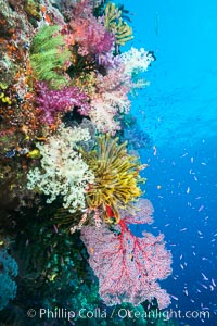 Spectacular pristine tropical reef with vibrant colorful soft corals. Dendronephthya soft corals, crinoids, sea fan gorgonians and schooling Anthias fishes, pulsing with life in a strong current over a pristine coral reef. Fiji is known as the soft coral capitlal of the world, Dendronephthya, Pseudanthias, Crinoidea, Gorgonacea, Namena Marine Reserve, Namena Island