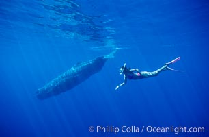 Sperm whale and Olympic swimmer Mikako Kotani, Physeter macrocephalus, Sao Miguel Island