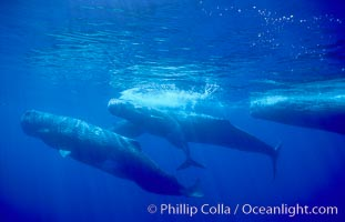 Sperm whale social group. Sao Miguel Island, Azores, Portugal, Physeter macrocephalus, natural history stock photograph, photo id 02067