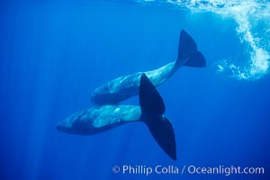Sperm whales diving, Physeter macrocephalus, Sao Miguel Island