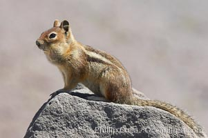 Unidentified squirrel, Panorama Point, Paradise Park, Spermophilus saturatus, Mount Rainier National Park, Washington