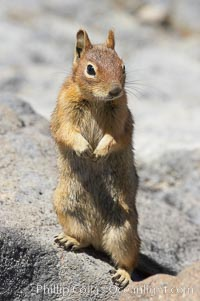 Unidentified squirrel, Panorama Point, Paradise Park. Mount Rainier National Park, Washington, USA, Spermophilus saturatus, natural history stock photograph, photo id 13920