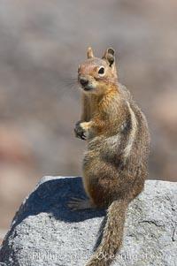 Unidentified squirrel, Panorama Point, Paradise Park. Mount Rainier National Park, Washington, USA, Spermophilus saturatus, natural history stock photograph, photo id 13923
