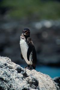 Galapagos penguin, Punta Espinosa, Spheniscus mendiculus, Fernandina Island