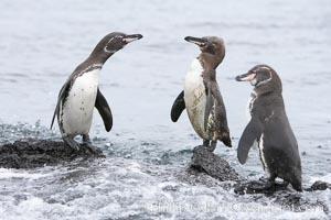 Galapagos penguins, Spheniscus mendiculus, Bartolome Island
