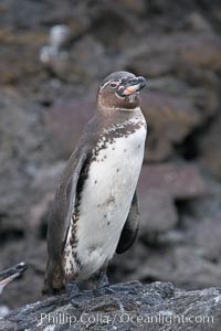 Galapagos penguin, perched on volcanic rocks.  Galapagos penguins are the northernmost species of penguin. Punta Albemarle, Spheniscus mendiculus, Isabella Island