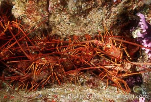 Spiny lobster, San Benito Islands, Panulirus interruptus, San Benito Islands (Islas San Benito)
