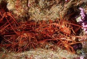 Spiny lobster, San Benito Islands. San Benito Islands (Islas San Benito), Baja California, Mexico, Panulirus interruptus, natural history stock photograph, photo id 01257