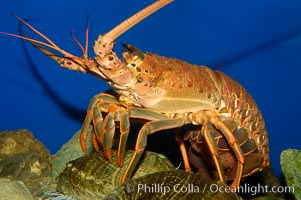 Spiny lobster, Panulirus interruptus