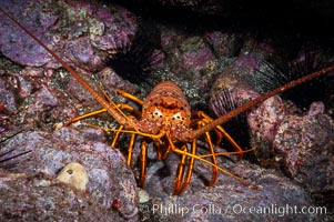 Spiny lobster in rocky crevice. Guadalupe Island (Isla Guadalupe), Baja California, Mexico, Panulirus interruptus, natural history stock photograph, photo id 09561