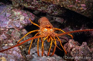 Spiny lobster in rocky crevice. Guadalupe Island (Isla Guadalupe), Baja California, Mexico, Panulirus interruptus, natural history stock photograph, photo id 09562