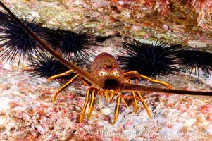 Spiny lobster in rocky crevice. Guadalupe Island (Isla Guadalupe), Baja California, Mexico, Panulirus interruptus, natural history stock photograph, photo id 09564