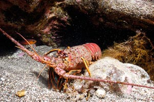 Spiny lobster in rocky crevice. Guadalupe Island (Isla Guadalupe), Baja California, Mexico, Panulirus interruptus, natural history stock photograph, photo id 09565